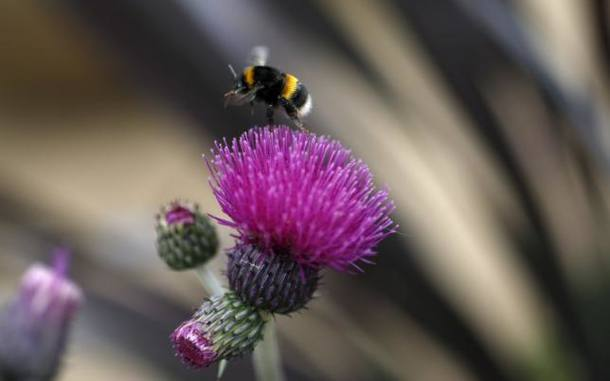 """File photo of a bee leaving a Cirsium Trevors """"Blue Wonder"""" thistle in the Well Child fresh garden at the Chelsea Flower Show in London"""