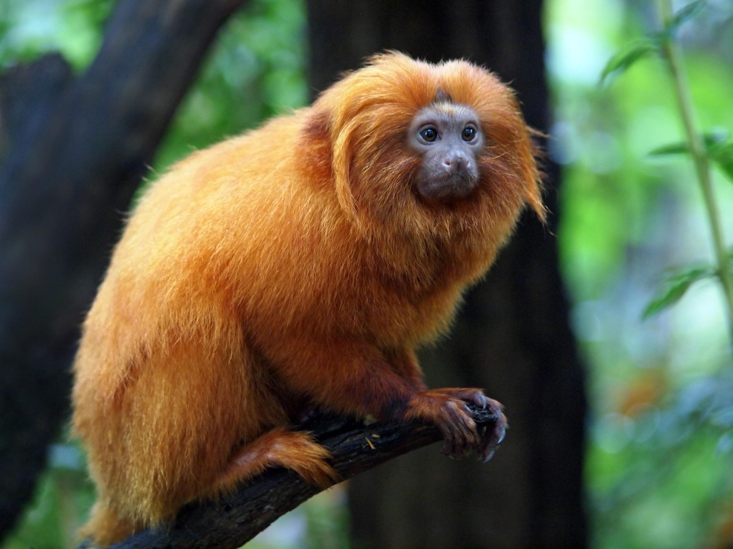 mico-leão-dourado_159838490