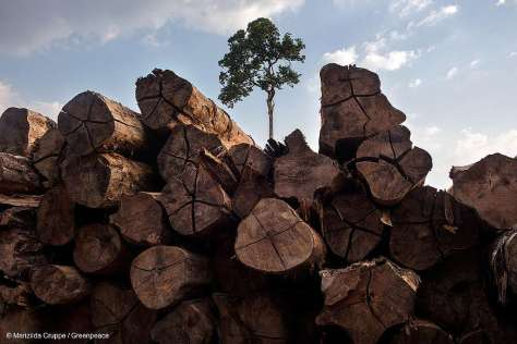 Timber from a PMFS in Brazil Madeira de PMFS