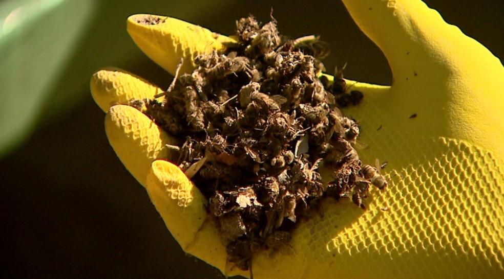 abelhas-mortas2