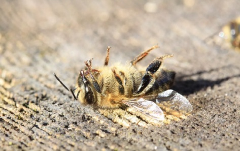 abelha-morta