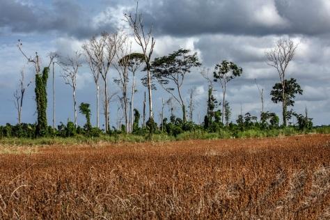 Soja e fragmento de floresta em Belterra.  Foto Marizilda Cruppe/Divulgacão