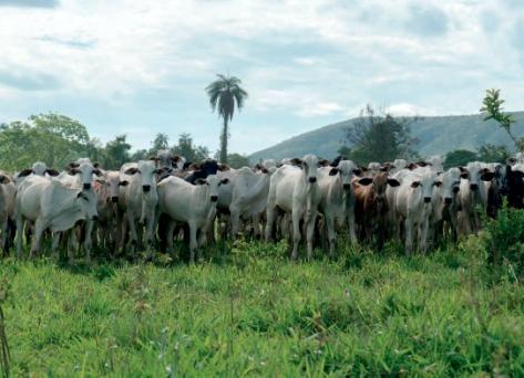 gado amazonia