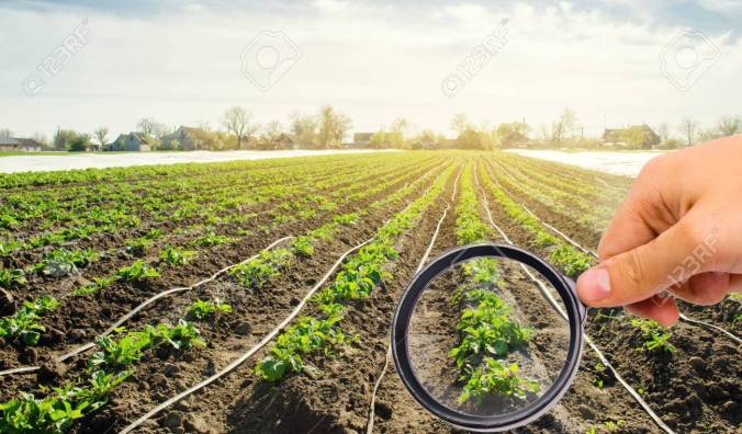 The food scientist checks the potato for chemicals and pesticides. Study quality of soil and crop. Growing organic vegetables. Eco-friendly products. Pomology. Agriculture and farming. GMO test.