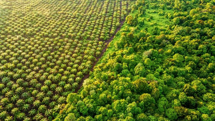 Palm Oil Plantation at the edge of Peat Land Swamp Rainforest