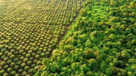 Palm Oil Plantation at the edge of Peat Land Swamp Rainforest
