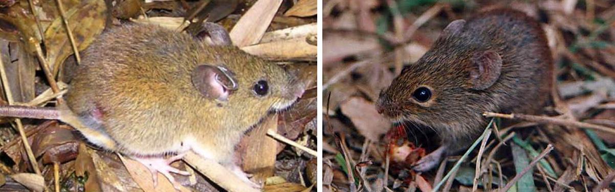 hantavirus-mice