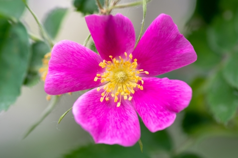 Wild,Rose,,This,Rose,Is,The,Alberta,Provincial,Floral,Emblem,also