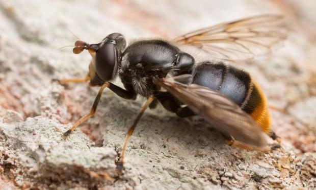 mosca do pinheiro