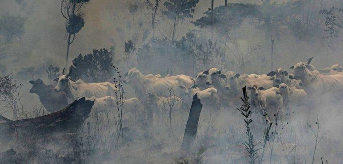 gado queimada