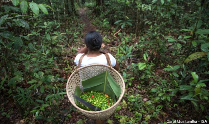 amazonia gatherers