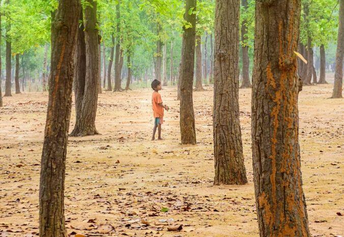 monoculturas árvores india